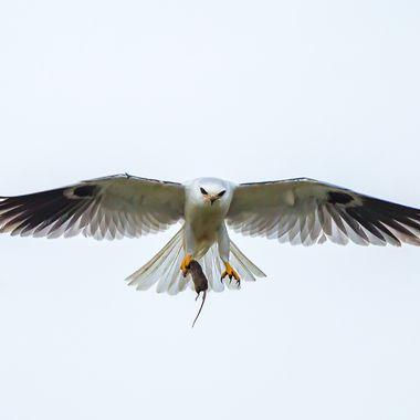 White-Tailed kite -6760