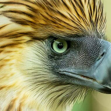 Poachers are one of the reasons why this Philippines Eagle  is endangered.