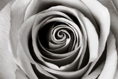 Rose In Monochrome