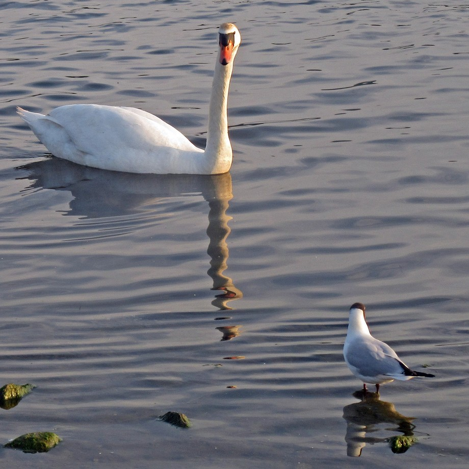 Swan and Black headed Gull