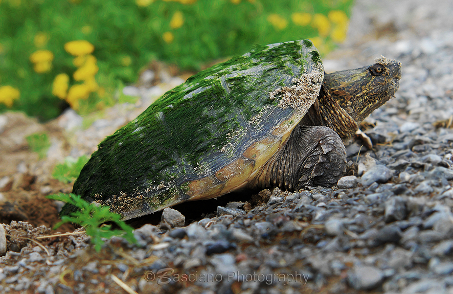 Mamma snapping turtle getting down to the egg laying business. (June 2008) Kawartha Lakes, Ontari...