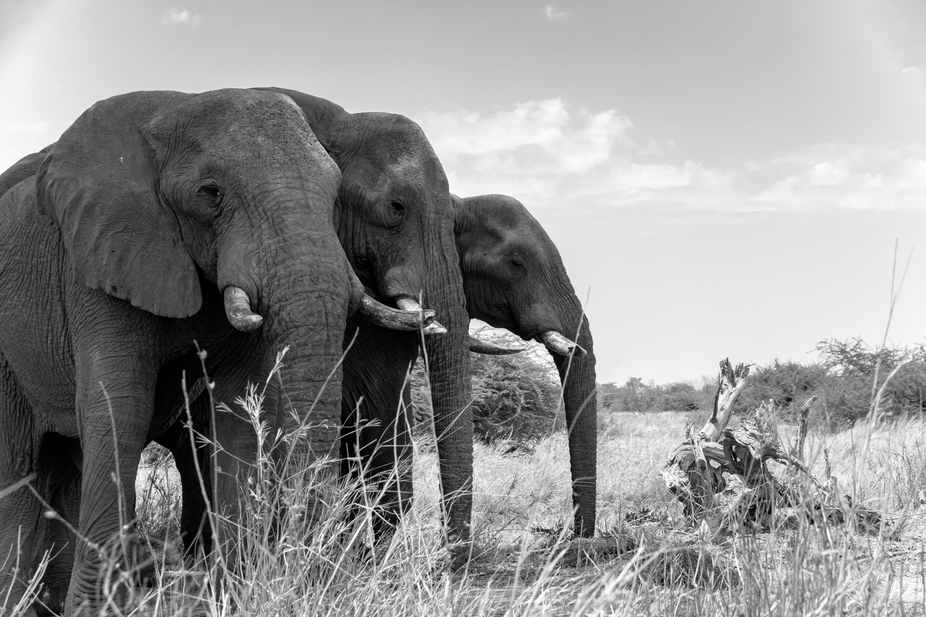 These elephants were just standing along side the road. It was during the hottest hours of the da...