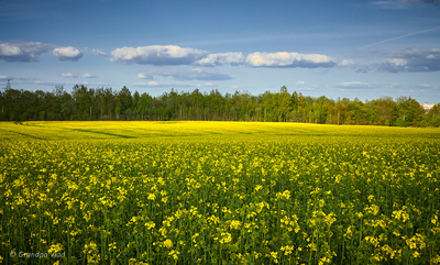 a rapeseed field...