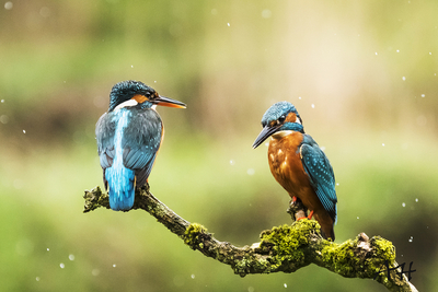 kingfisher pair on branch