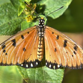 Miss Tawny Coster's photo, with her wings spread wide.
