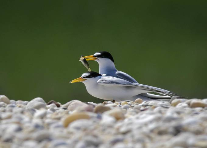 Breeding Least Terns by lablue - Small Wildlife Photo Contest