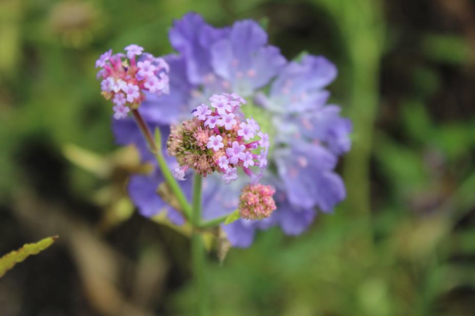 Purple Lace