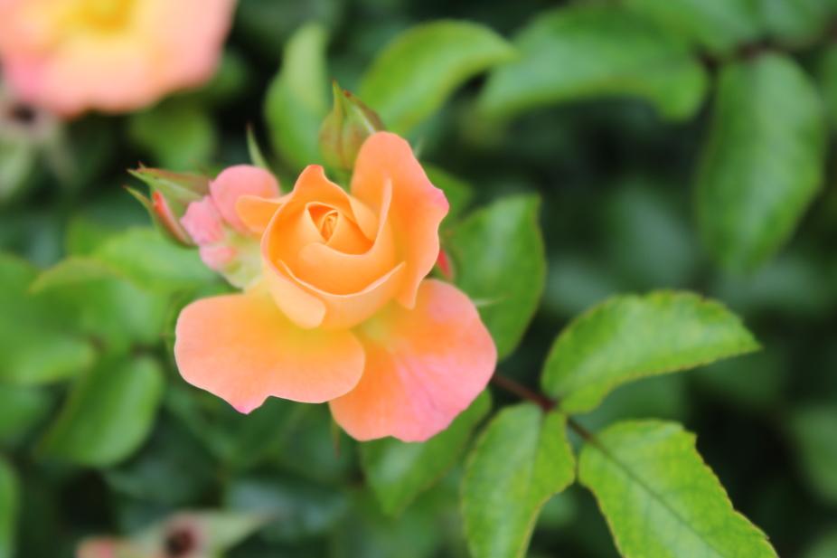 Sun Rose Bud #2