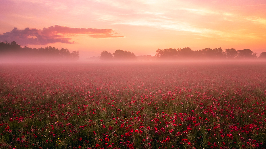 Poppy fields in morning light and mists.