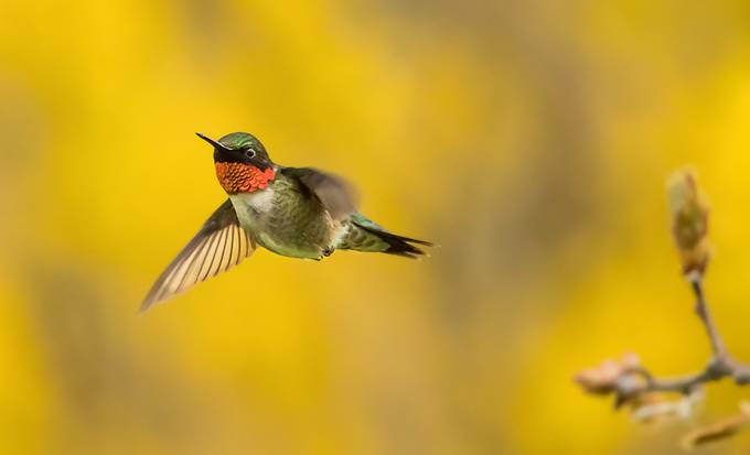 Hummingbird-with-Forsythia by tracymunson - Just Hummingbirds Photo Contest