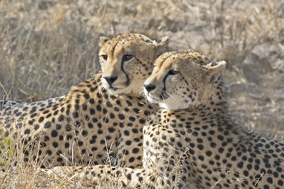 Cheetah Brothers, Kruger NP, South Africa