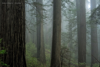 Deep In The Redwood Forest