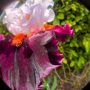 Stunning Bearded Iris!