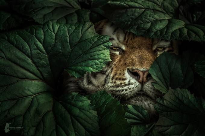 Tiger by Fotostyle-Schindler - Image Of The Month Photo Contest Vol 33