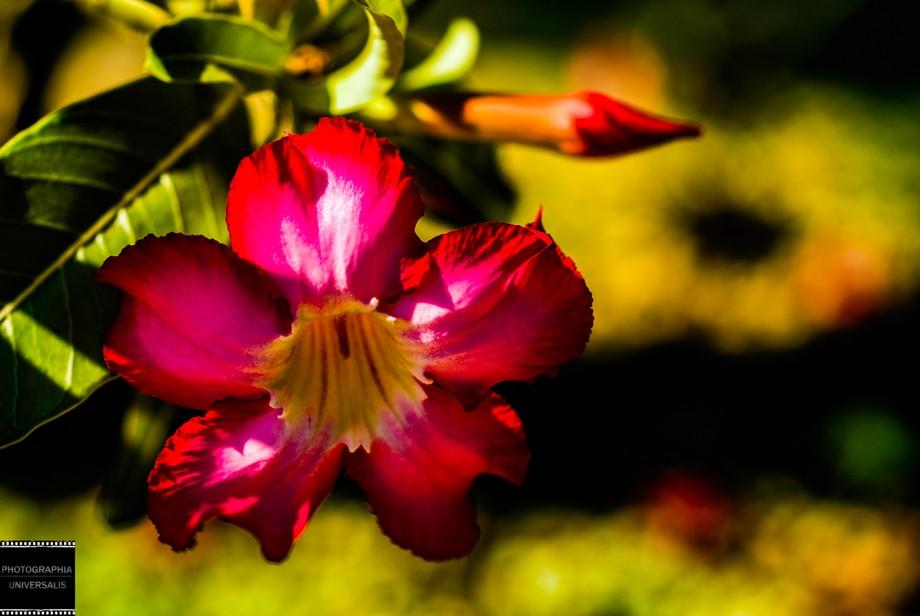 """""""Desert Rose"""""""