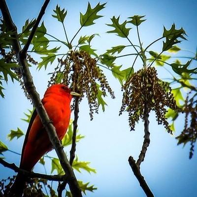 Scarlet Tanager in his tree top territory.  #trailsend #scarlettanager #birding #birdphotography #birdwatching #pocket_birds #best_birds_of_world #mybirdwatch #elite_worldwide_birds #naturyst #featured_wildlife #canon_photos #canonglobal #canonwhatelse #m