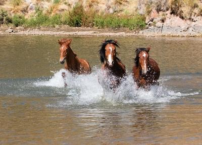 Wild stallions running through the lake