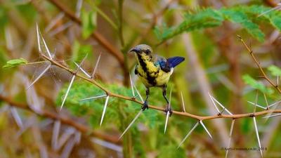 Eclipse sunbird