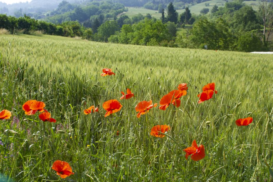 poppies_0039