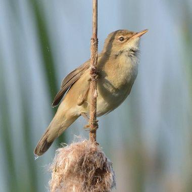 Eurasian reed warbler, or just reed warbler (Acrocephalus scirpaceus)