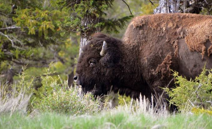 I love watching these bison!