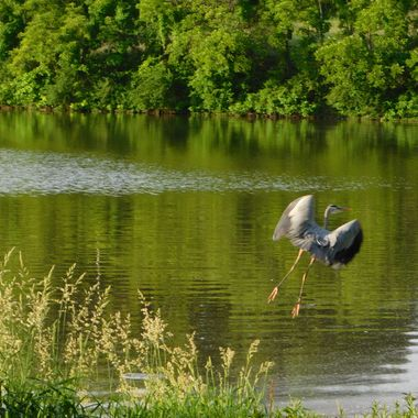 Great Blue Heron Taking off in flight