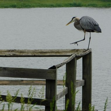 Heron taking a step