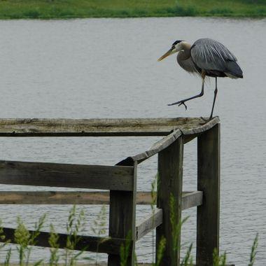 Heron taking a step