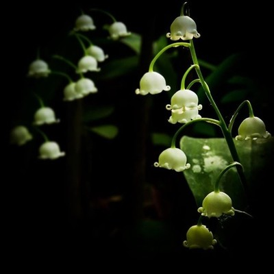 Lily of the valley in the evening light.  #trailsend #lilyofthevalley #wildflowers #wildflowerphotography #macro #macrophotography #closeup #eveninglight #adkexplorerpix #canon_photos #canonglobal #canonwhatelse #adkphotoclub #got_greatshots #marvelouz_wo