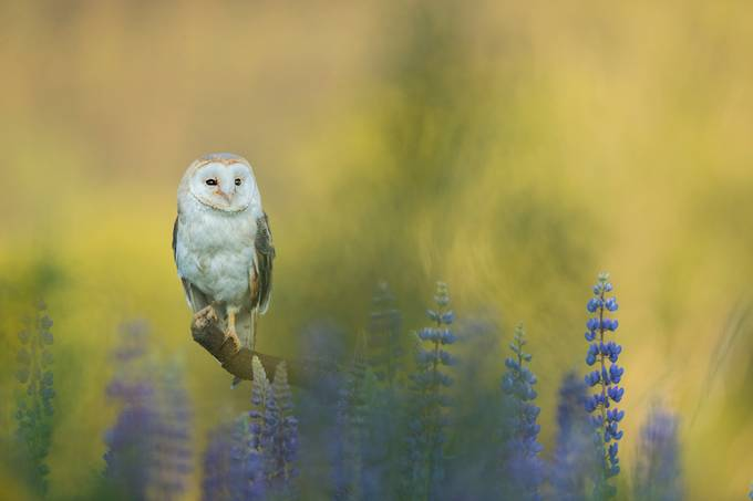 Barn Owl by vladcech - Stillness Photo Contest