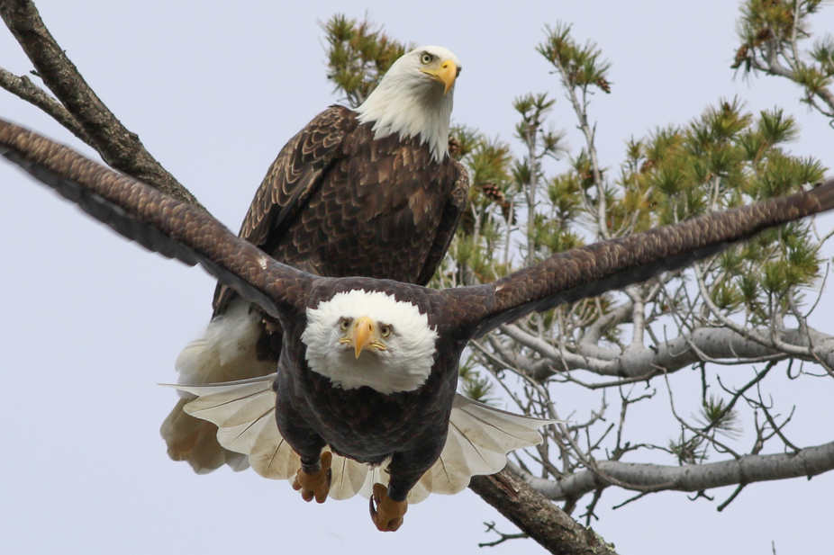 One of my favorite photos I've taken of these eagles. I took this photo in automatic set...