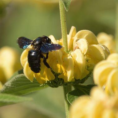 Violet carpenter bee (xylocopa violacea)