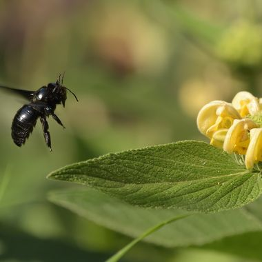 Violet carpenter bee (xylocopa violacea)
