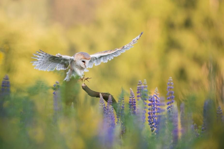 Landing..(Barn Owl)