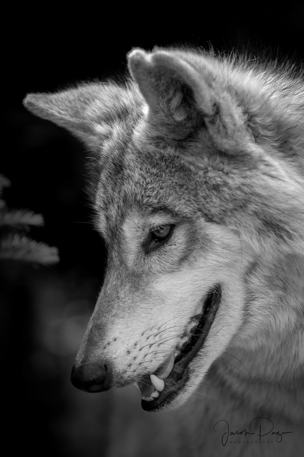 Wolfdog by Seenthrumyeyes - Black And White Compositions Photo Contest vol3