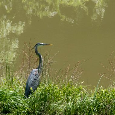 Great Blue Heron, Darnestown, Pond, MD DSC_1522_1
