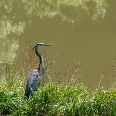 Great Blue Heron, Darnestown, Pond, MD DSC_1522_1