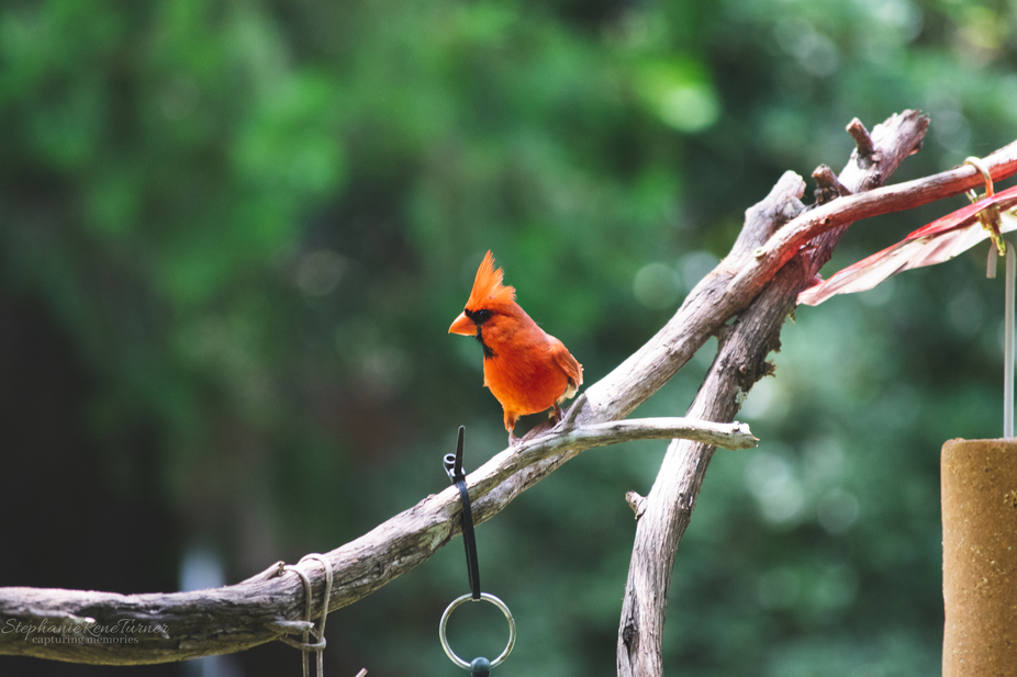 This cardinal posed for a picture in between snacking on his bird feeder.