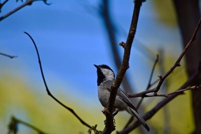Song Bird of the Mountain
