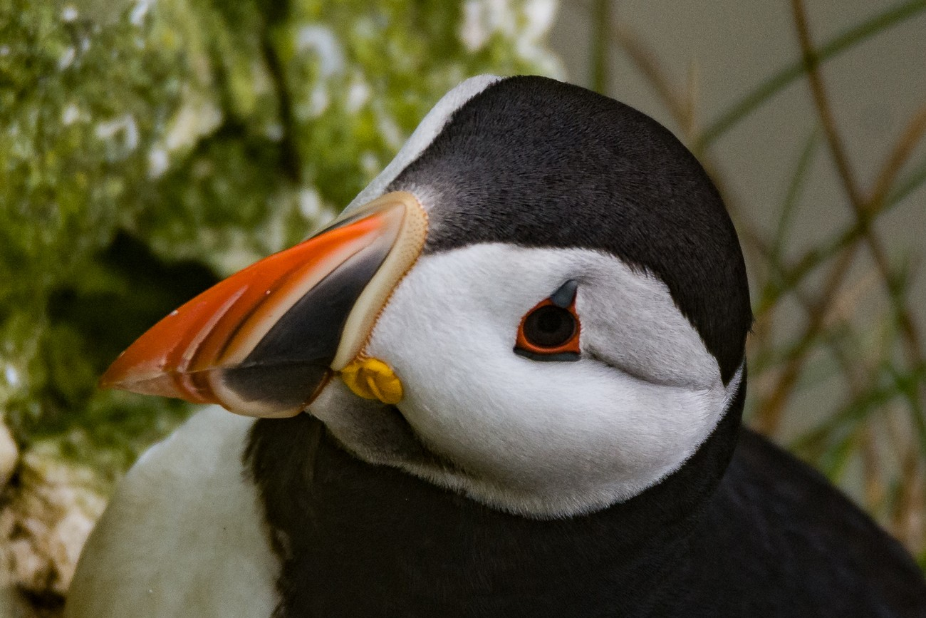 Puffin_Pose