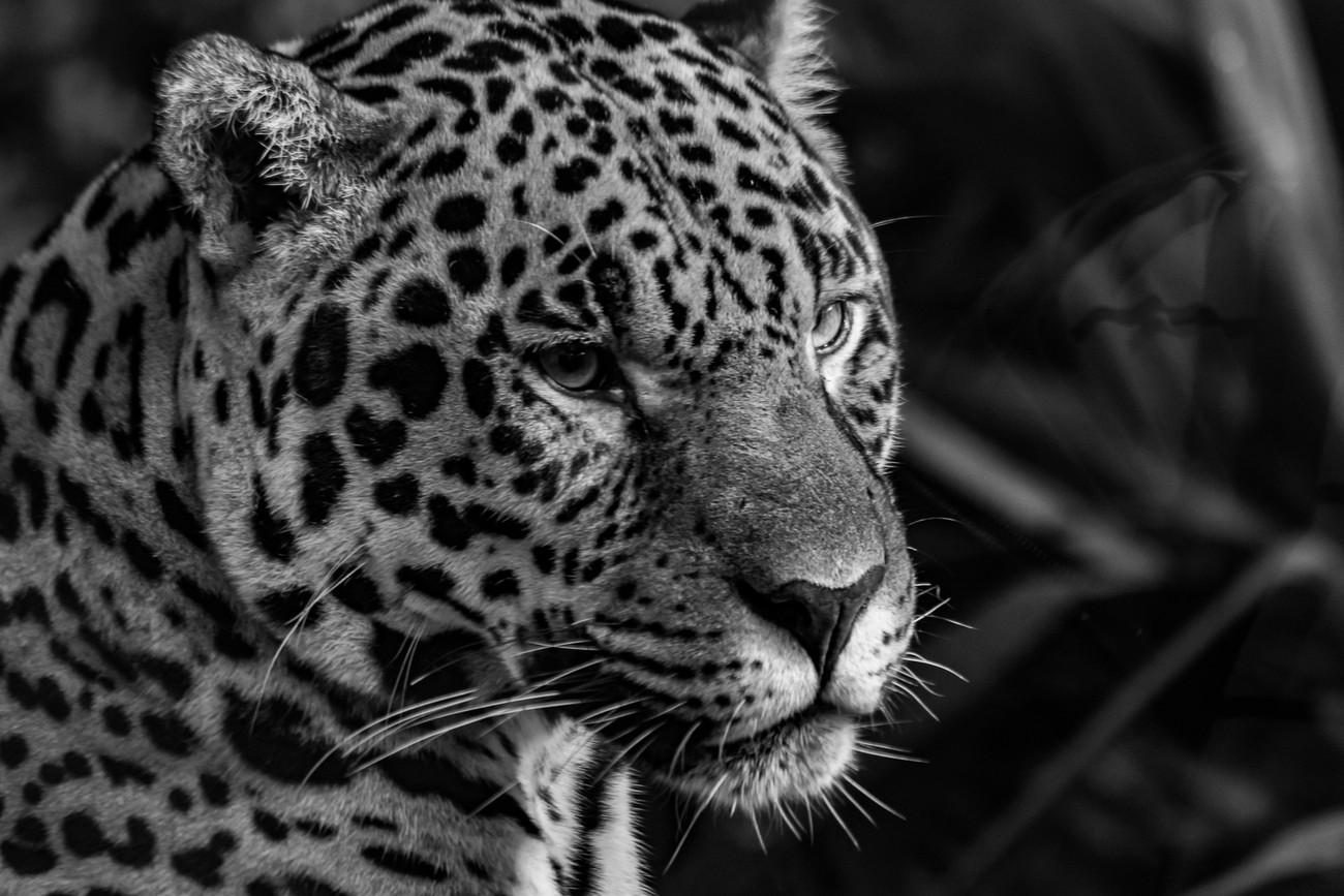 B & W leopard