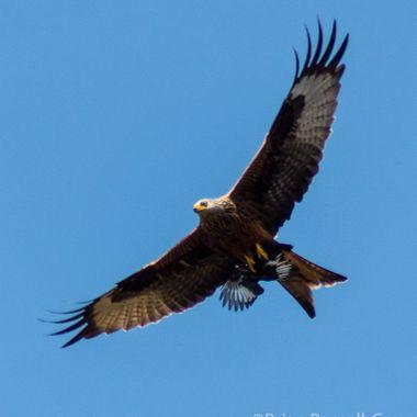 red kite-3679