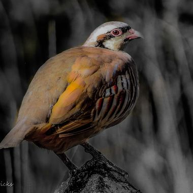 Chukar Partridge 2