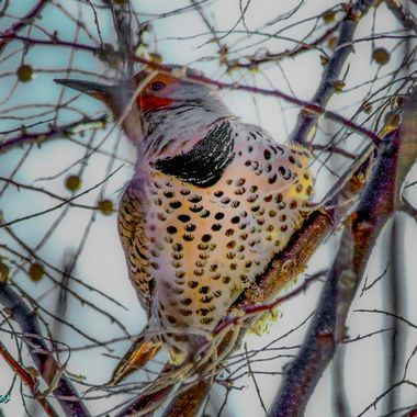 A Flicker eyeing up the berries.