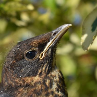 A lot of learning to do baby blackbird fledgling visit to my garden.