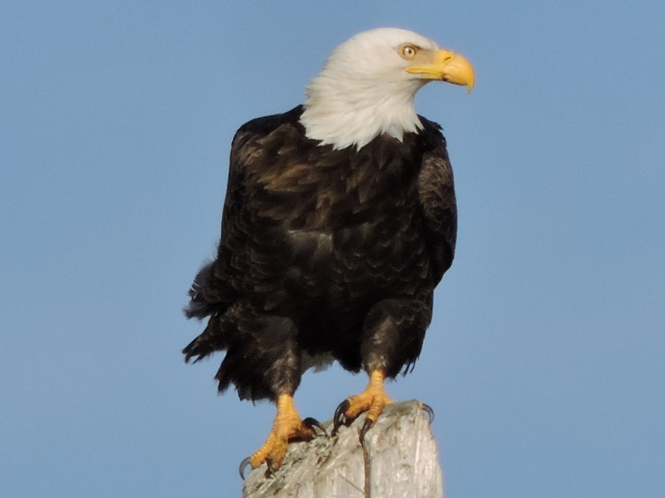 talons griped, standing 20 feet tall on a powerline post facing piercing winds, looking towards the flowing river and open fields.