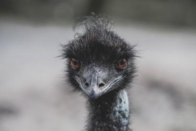 Blåvand zoo - Emu