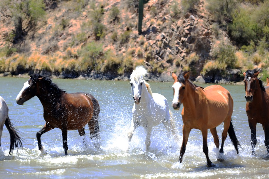 The beautiful  and wild, white stallion has command of most of the Salt River Basin horses.  He&a...