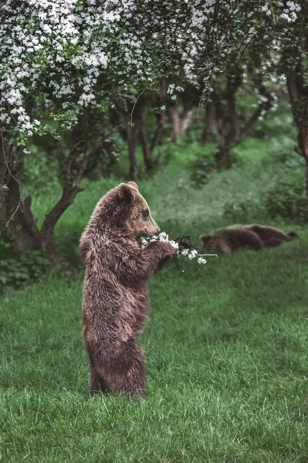 """Haven't you ever thought of living unconsciously like bears, sniffing the earth, close to pears and the mossy dark, far from human voices and fire?  - On İbrahim Balaban's Painting ""Spring""""  ― Nâzım Hikmet Ran, Poems of Nazım Hikmet by LAcreativephotography - Bears Photo Contest"