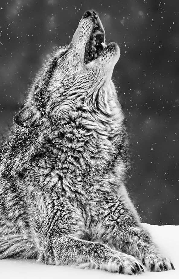 Howling in the snow by Danyal - Wolves Photo Contest